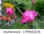 Beautiful Pink Rose Blooming...