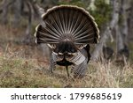 Wild Tom Turkeys Strutting A...