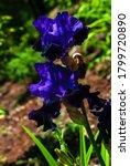 Two Tone Deep Blue Bearded Iris