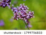 Verbena Bonariensis Purple...