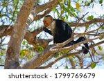 A White Headed Capuchin Monkey...