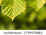 Green Tilia Linden Tree Leaves...