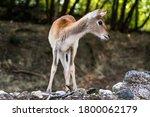 Young Red Lechwe Antelope ...