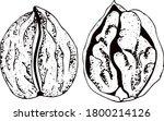nuts. walnuts. set of hand... | Shutterstock .eps vector #1800214126