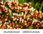 Close Up Of The Flowers Of The...