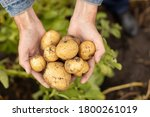 Harvest Fresh Potatoes In The...
