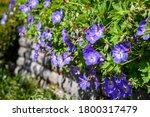 Closeup Of Hardy Geranium With...