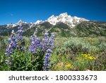Purple Lupine Wildflowers In...