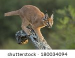 caracal walking down tree in...   Shutterstock . vector #180034094