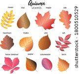 Set Of Autumn Leaves. 12 Types...
