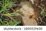 A Flame Skimmer Dragonfly Sits...
