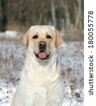 Yellow Labrador In The Snow In...