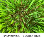 Texture Of Wheat Sprouts With...