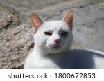 White Cat With Green Eyes In...