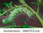 Ceratomia Undulosa  Green...