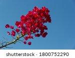 Oleander Branch Against The Sky.