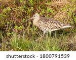 Eurasian curlew, Numenius arquata walking in a summery bog in Norhern Finland.