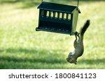 Small photo of Pesky squirrel and bird feeder. One wildlife animal.