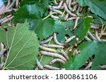 A 7 Day Old Silkworm That Is...