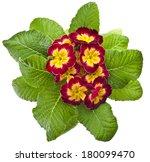 Spring Flower Primrose Primula...
