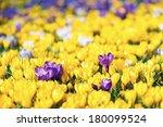 Field of Crocus Flowers In Spring - stock photo
