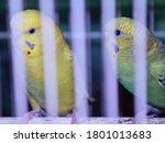 Caged Birds   Two Budgerigar...