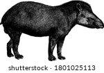 tapir is a herbivorous mammal... | Shutterstock .eps vector #1801025113