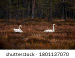 Two Whoopen Swans  Cygnus...
