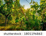 Green Riesling Grapes In A...