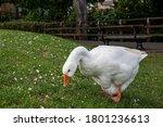 White Emden Geese Eating Grass...