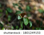 Phoebis Philea Butterfly With...