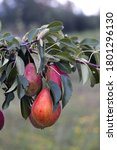 Red Ripe Pears On A Branch Wit...