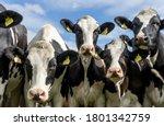 Holstein friesian cattle  also  ...