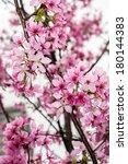 cherry blossom | Shutterstock . vector #180144383