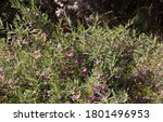 Dainty Mauve Blooms Of...