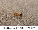 Closeup Small Red Ant Macro