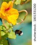 Bumblebee In Flight. Bumblebee...