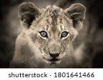 Young Lion Cub Portraits Taken...