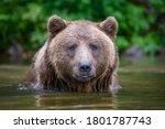 Wild Adult Brown Bear  Ursus...