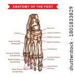 Human Foot Bones Anatomy Sketch ...