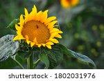 sunflower flower with bee in... | Shutterstock . vector #1802031976