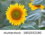 sunflower flower in the field.... | Shutterstock . vector #1802032180