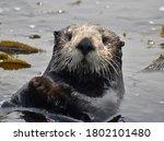 An Adorable Sea Otter  Enhydra...