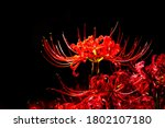 Red Cluster Amaryllis Or Red...