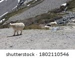 Small photo of Goat sticking out his tongue near Quandary Peak