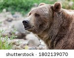 A Large Male Grizzly Bear With...
