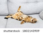 Bengal Young Cat Is Sleeping On ...