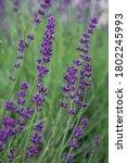 beautiful blooming lavender... | Shutterstock . vector #1802245993