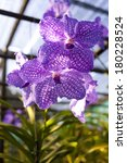 Small photo of purple vanda, Purple vanda orchid grow in farm agriculture, Thailand