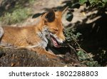 Red Fox Lies On The Wood In Th...
